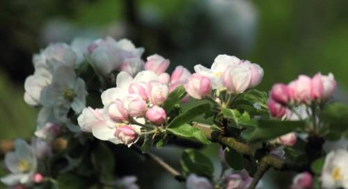 2011_04_17_Apfelblüte